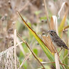 Lincoln's sparrow, Oct 2021
