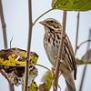 Savannah Sparrow, Oct 2021