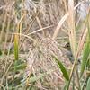 Swamp sparrow, Oct 2021