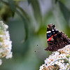 Red admiral, Oct 2021