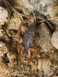 Scorpion on the way to Death Valley