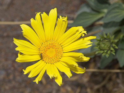 Panamint daisy with syrphid fly