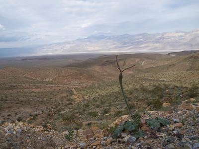 Eriogonum inflatum overlooking Panamint Valley