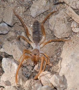 "A solfugid, an arachnid cousin of spiders and scorpions.  The body (not counting legs) was about 1.5"" long."