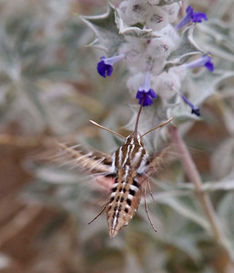 White-lined sphinx moth on Death Valley sage