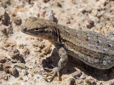 Side-Blotch Lizard