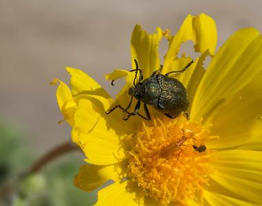 False Jewel Beetle on Desert Gold (also Smaller Beetles)