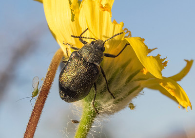 False Jewel Beetle and Aphid on Desert Gold