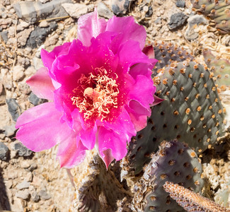 Bloom on Beavertail Cactus