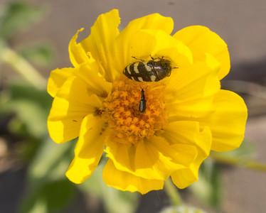 Beetles in Desert Gold