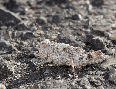 Grasshopper of Some Sort, Well Camouflaged on Gravel
