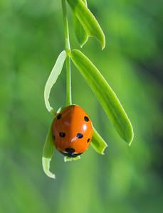 Ladybug (Ladybird Beetle) on Mesquite