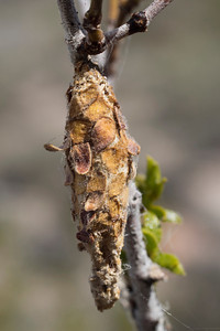 Pupal Case of the Creosote Bush Bagworm Moth (Thyridopteryx meadi)