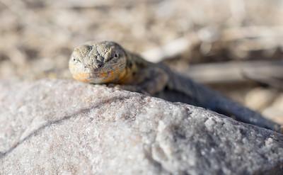 Sideblotch lizard