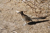 Beautiful Road Runner too friendly for his/her own good near the Visitor Center