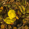 Golden Evening-Primrose