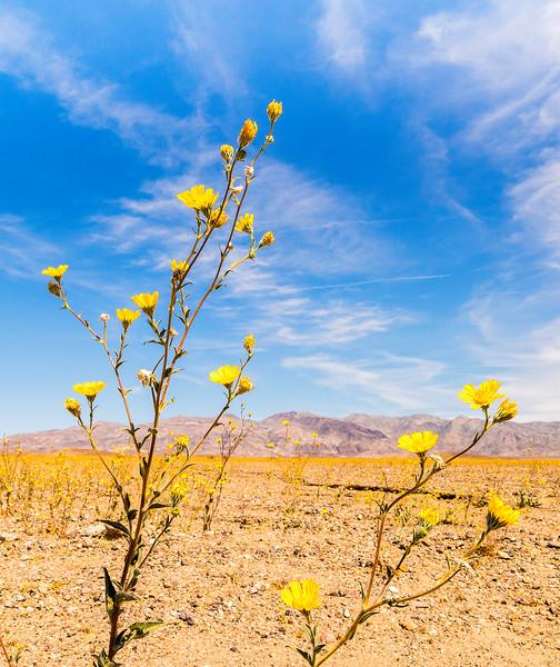 Desert Gold