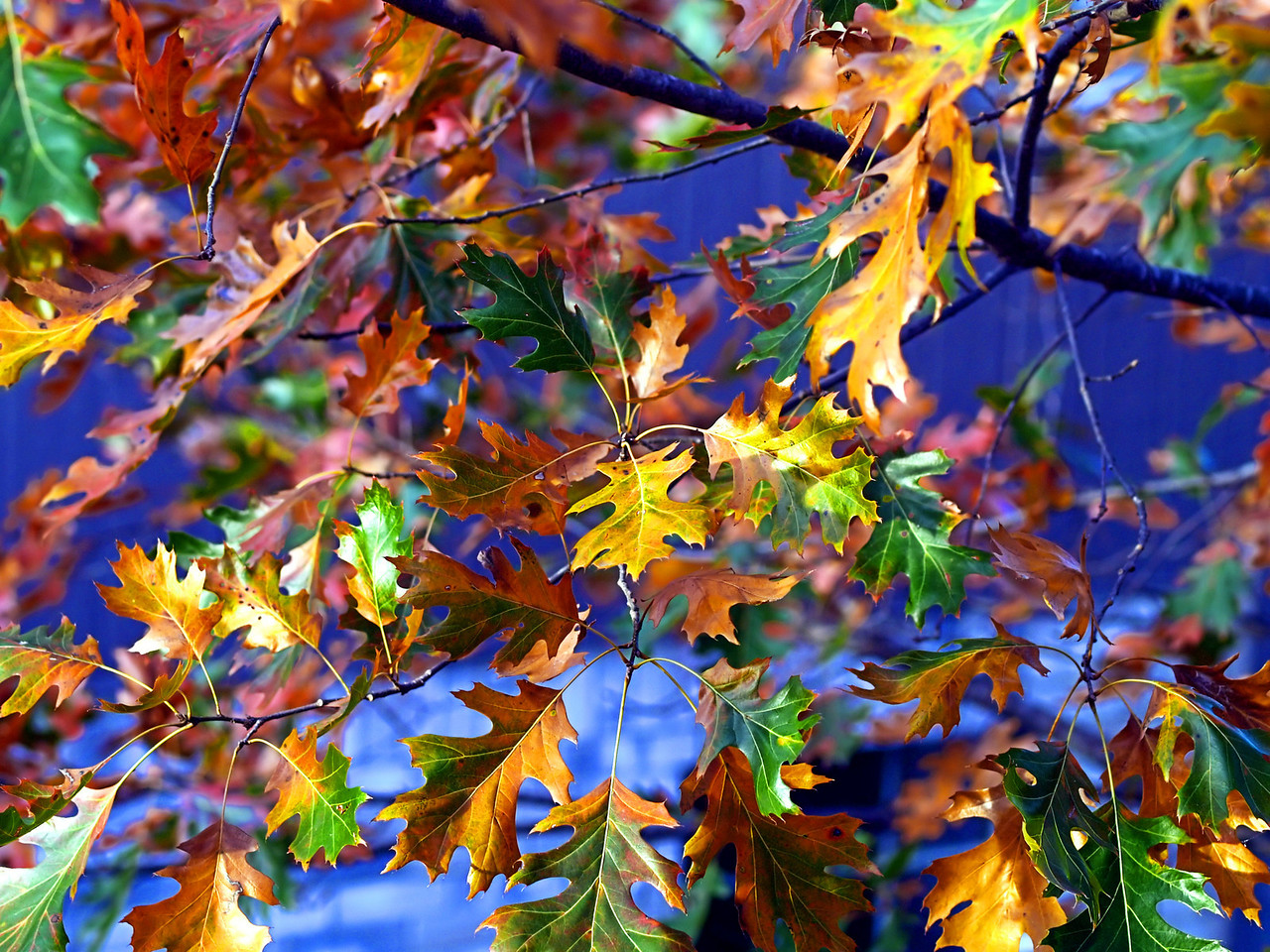 OLYMPUS DIGITAL CAMERA--Red oak leaves showing brilliant fall colors.