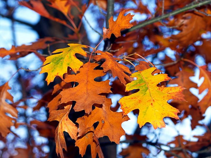 OLYMPUS DIGITAL CAMERA--Red oak leaves.