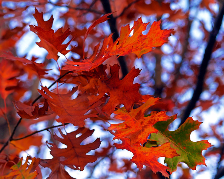 OLYMPUS DIGITAL CAMERA-- Red oak leaves with brilliant fall colors.