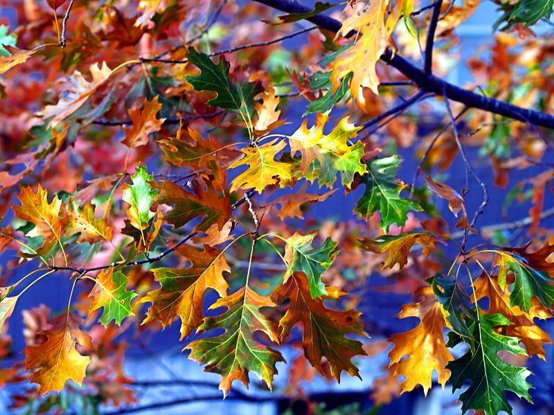 OLYMPUS DIGITAL CAMERA--Red oak leaves showing multiple colors.