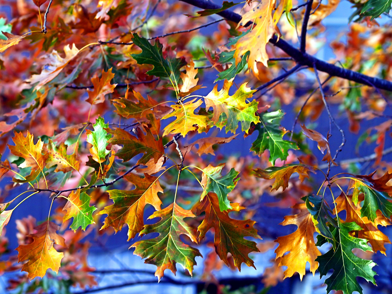 OLYMPUS DIGITAL CAMERA--Red oak leaves showing multiple colors.