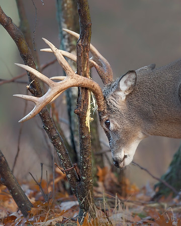 This photograph of a White-tailed Deer rubbing his antlers was taken in Shenandoah National Park (11/06).   This photograph is protected by the U.S. Copyright Laws and shall not to be downloaded or reproduced by any means without the formal written permission of Ken Conger Photography.