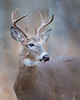 This photograph of a buck White-tailed Deer was captured in Shenandoah National Park, Virginia (11/13).  This photograph is protected by the U.S. Copyright Laws and shall not to be downloaded or reproduced by any means without the formal written permission of Ken Conger Photography.