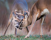 This photograph of two buck White-tailed Deer fighting or sparring was captured in Shenandoah National Park, Virginia (11/13).  This photograph is protected by the U.S. Copyright Laws and shall not to be downloaded or reproduced by any means without the formal written permission of Ken Conger Photography.