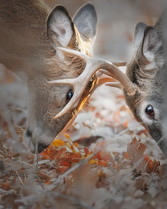 This photograph of a White-tailed Deer bucks head butting was taken in Shenandoah National Park (11/06).   This photograph is protected by the U.S. Copyright Laws and shall not to be downloaded or reproduced by any means without the formal written permission of Ken Conger Photography.