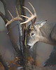 Deer Gallery  (White-tailed, Sitka & Mule) : A collection of Whitetail, Sitka & Mule Deer images.