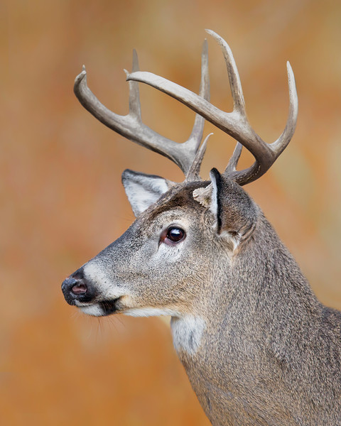 This photograph of a buck White-tailed Deer was captured in Shenandoah National Park, Virginia (11/12).  This photograph is protected by the U.S. Copyright Laws and shall not to be downloaded or reproduced by any means without the formal written permission of Ken Conger Photography.