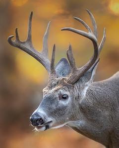 Shenandoah National Park White-tailed Deer Buck