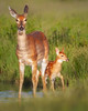 "This photograph of a White-tailed Deer doe and fawn was captured in Shenandoah National Park, Virginia (6/11).   <FONT COLOR=""RED""><h5>This photograph is protected by the U.S. Copyright Laws and shall not to be downloaded or reproduced by any means without the formal written permission of Ken Conger Photography.<FONT COLOR=""RED""></h5>"
