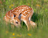 "This photograph of a White-tailed Deer fawn was captured in Shenandoah National Park, Virginia (6/13).  <FONT COLOR=""RED""><h5>This photograph is protected by the U.S. Copyright Laws and shall not to be downloaded or reproduced by any means without the formal written permission of Ken Conger Photography.<FONT COLOR=""RED""></h5>"
