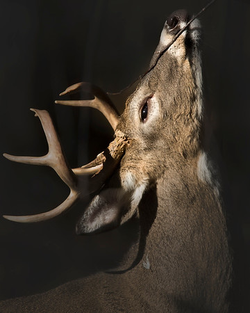 This photograph of a White-tailed Deer buck was taken in Shenandoah National Park (11/07).   This photograph is protected by the U.S. Copyright Laws and shall not to be downloaded or reproduced by any means without the formal written permission of Ken Conger Photography.