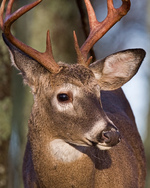 This photograph of a White-tailed Deer buck was taken in Shenandoah National Park, VA (11/09).   This photograph is protected by the U.S. Copyright Laws and shall not to be downloaded or reproduced by any means without the formal written permission of Ken Conger Photography.