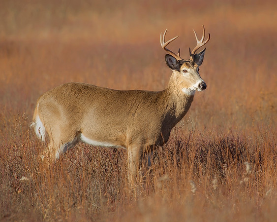 "This photograph of a White-tailed Deer buck was captured in Shenandoah National Park, Virginia (11/13).  <FONT COLOR=""RED""><h5>This photograph is protected by the U.S. Copyright Laws and shall not to be downloaded or reproduced by any means without the formal written permission of Ken Conger Photography.<FONT COLOR=""RED""></h5>"