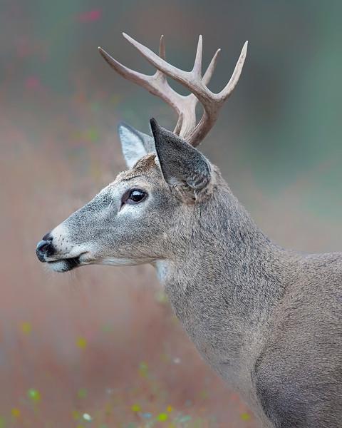 Shenadoah National Park White-tailed Deer Buck