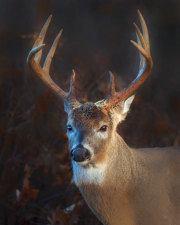 This photograph of a White-tailed Deer buck was taken in Shenandoah National Park (11/06).   This photograph is protected by the U.S. Copyright Laws and shall not to be downloaded or reproduced by any means without the formal written permission of Ken Conger Photography.