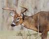 "This photograph of a buck White-tailed Deer was captured in Shenandoah National Park, Virginia (11/12).  <FONT COLOR=""RED""><h5>This photograph is protected by the U.S. Copyright Laws and shall not to be downloaded or reproduced by any means without the formal written permission of Ken Conger Photography.<FONT COLOR=""RED""></h5>"