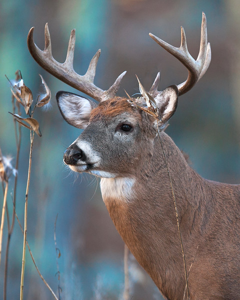 This photograph of a White-tailed Deer buck was taken in Shenandoah National Park, VA (11/10).   This photograph is protected by the U.S. Copyright Laws and shall not to be downloaded or reproduced by any means without the formal written permission of Ken Conger Photography.