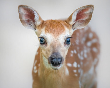 This White-tailed Deer fawn photograph was captured in Shenandoah National Park, Virginia.  No Photoshop work here, the background is the beige wall near the visitor center (6/08).   This photograph is protected by the U.S. Copyright Laws and shall not to be downloaded or reproduced by any means without the formal written permission of Ken Conger Photography.