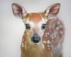 This Whitetail Deer fawn photograph was captured in Shenandoah National Park, Virginia.  No Photoshop work here, the background is the beige wall near the visitor center (6/08). 