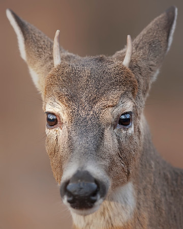 This photograph of a White-tailed Deer juvenile buck was taken in Shenandoah National Park (11/06).   This photograph is protected by the U.S. Copyright Laws and shall not to be downloaded or reproduced by any means without the formal written permission of Ken Conger Photography.