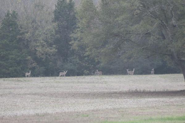 Deer November 2015