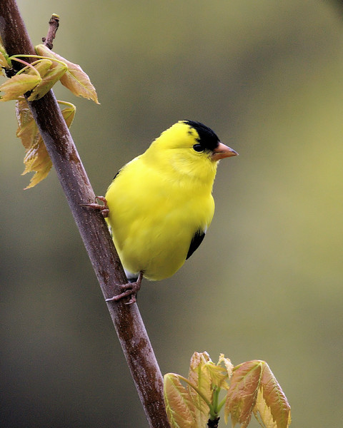 Goldfinch in a Maple Tree