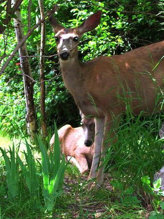 Deer by Richard Lazzara