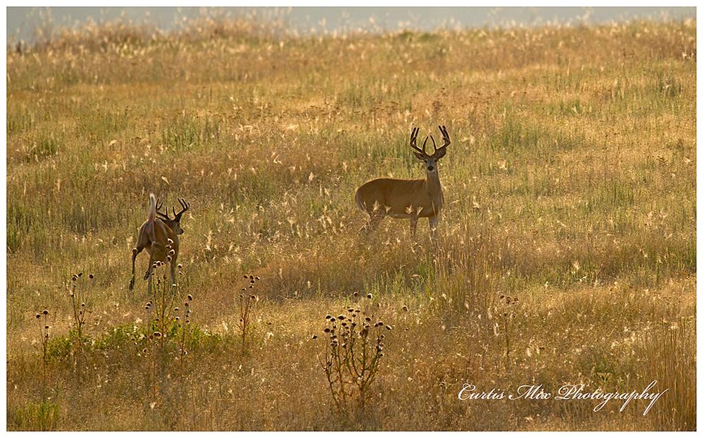 Whitetail bucks in summer.