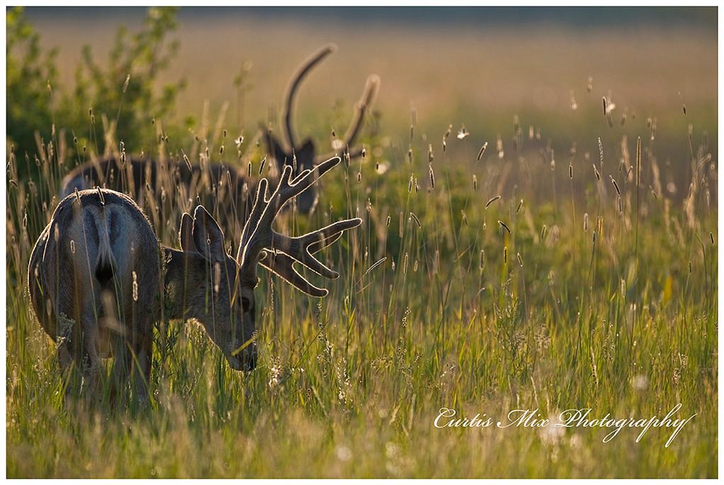 Backlit deer.
